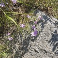 Mountain phlox.- Bells Canyon Lower Falls