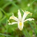 A wild iris.- Cloverpatch Trail Hike