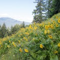 A field of sunflowers on the Cloverpatch Trail.- Cloverpatch Trail Hike