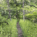 Trails become singletrack.- Greenwich Audubon