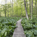 A boardwalk through the forest foliage.- Greenwich Audubon