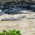 Rare Hawaiian monk seals can often be spotted on this remote coast.- Ka'ena Point Trail