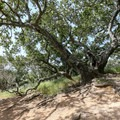 A shady oak marks the end of the ascent on the wide dirt path and the beginning of the steep scramble.- Bishop Peak via Foothill Boulevard