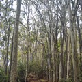 The trail starts through guava and paperbark trees with plenty of exposed roots.- 'Aiea Loop Trail