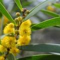 Koa flowers in bloom!- 'Aiea Loop Trail