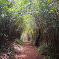 The trail is flanked by strawberry guava trees in some places.- 'Aiea Loop Trail