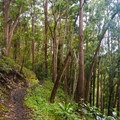 The trail meanders around the tropical ridge contours and can be muddy.- 'Aiea Loop Trail