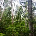 Cook pines line some sections, seemingly out of place in the otherwise tropical surroundings.- 'Aiea Loop Trail