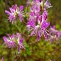 Rhodora (Rhododendron canadense) in bloom.- Wonderland Trail