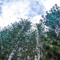 The forest is partially made up of Cook pines and feels more temperate than tropical.- Keaīwa Heiau State Recreation Area