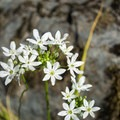 Wildflowers in the Rogue River Canyon.- Whisky Creek Cabin