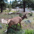 An elk strolling right past the car in camp.- Mather Campground