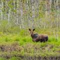 Moose feeding in the marsh.- Alice Bemis Thompson Wildlife Sanctuary