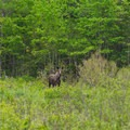A second moose standing at the tree line.- Alice Bemis Thompson Wildlife Sanctuary