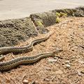 A garter snake across the road.- Schreeder Pond