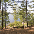 A pine grove near the lake.- Mansfield Hollow State Park