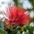Native Hawaiian ōhi'a lehua.- Ho'omaluhia Botanical Gardens