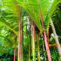 Exotic palms line the tropical plant path to the lake.- Ho'omaluhia Botanical Gardens