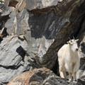 Mountain goats on a crag.- Blue Lakes Trail