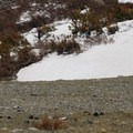 Mountain goats in their natural habitat.- Blue Lakes Trail