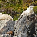 Mountain goats basking in the sun.- Blue Lakes Trail