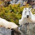 Emotive expressions of Blue Lake mountain goats.- Blue Lakes Trail