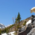 Mountain goats are nimble creatures.- Blue Lakes Trail