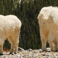Mountain goats are majestic from all angles.- Blue Lakes Trail