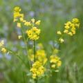 Unidentified wildflowers (help us identify it by providing feedback).- Gabbro Falls