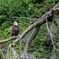 A bald eagle as seen from the Connecticut River.- Wilgus State Park