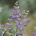 Wildflowers grow along the hike.- Tahoe-Pyramid Bikeway: Farad to Floriston