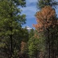 Glimpses of the San Francisco Peaks can be seen through the trees.- Schultz Creek Trail
