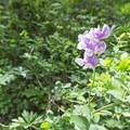 Sweet pea (Lathyrus odoratus) in blossom.- Scout Falls
