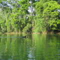 A local dog swimming in the Mopan River.- Mopan River Float
