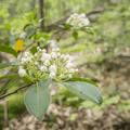 White mountain laurel (Kalmia latifolia) in bloom.- Overlook Trail to Lambs Hill