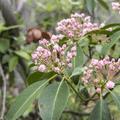 Pink mountain laurel (Kalmia latifolia).- Overlook Trail to Lambs Hill