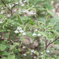 Wild blueberry flowers (Cyanococcus).- Overlook Trail to Lambs Hill