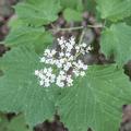 Mapleleaf viburnum (Viburnum acerifolium) blossoms.- Overlook Trail to Lambs Hill
