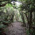 Mossy forests on the Ōtepatotu Track.- Ōtepatotu Track to Lavericks Peak