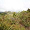 New Zealand flax along the track.- Ōtepatotu Track to Lavericks Peak