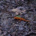 An abundance of newts can be found along the trails.- Christman Sanctuary