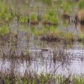 A beaver swimming in the morning.- Alice Bemis Thompson Wildlife Sanctuary