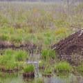 A beaver lodge.- Alice Bemis Thompson Wildlife Sanctuary