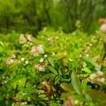Low sweet blueberry (Vaccinium angustifolium).- Sieur de Monts Nature Center + Wild Gardens