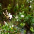 Bog rosemary (Andromida polifolia var. glaucophylla).- Sieur de Monts Nature Center + Wild Gardens