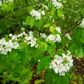 Large-seeded hawthorne (Crataegus macrosperma) in bloom.- Sieur de Monts Nature Center + Wild Gardens