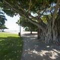 Banyan tree/paniana (Ficus benghalensis) at Fort DeRussy Beach Park.- Fort DeRussy Beach Park