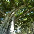Banyan tree/paniana (Ficus benghalensis) at Kapi'olani Beach Park.- Queen's Beach / Walls + Kapi'olani Beach Park