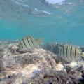 Convict surgeonfish (Acanthurus triostegus) at the reef in Hanauma Bay.- Hanauma Bay