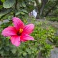 Hibiscus fragilis at Waimea Valley Botanical Garden.- Waimea Valley Botanical Garden + Cultural Center